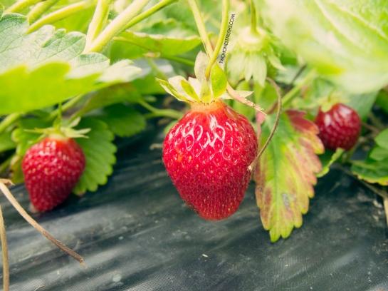 twohonesttruths_muriwai_strawberry26 copy
